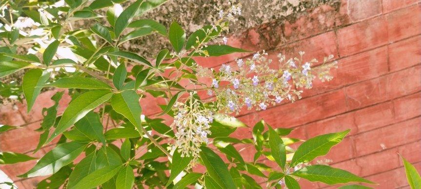 Healing with Plant Medicine: Lagundi aka VitexNegudo