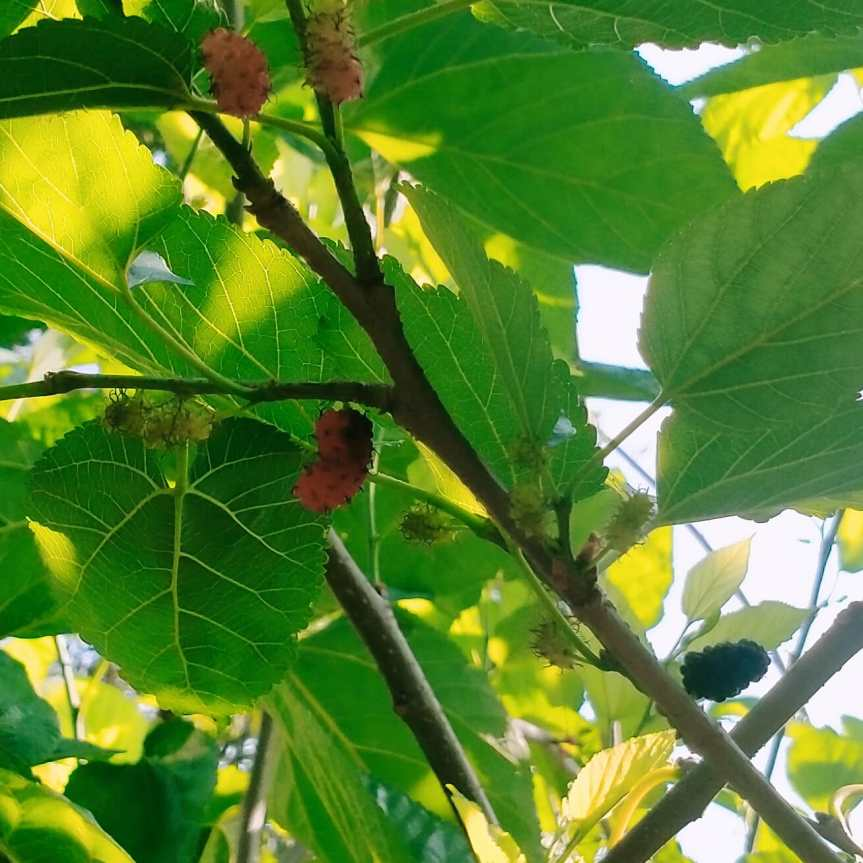 Healing with Plant Medicine: MulberryLeaf